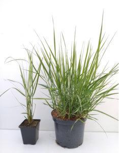 calamagrostis Karl Foerster godet et C3
