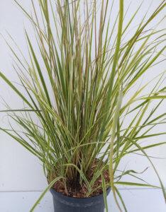 Calamagrostis overdam4
