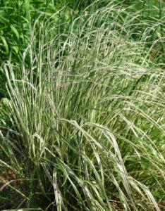 Calamagrostis_acutiflora_'Overdam'_02