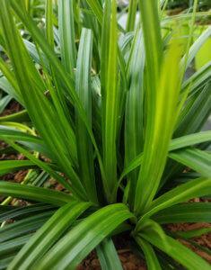 Carex 'irish Green'