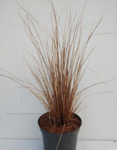 Carex red rooster2