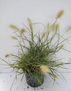 Pennisetum villosum1
