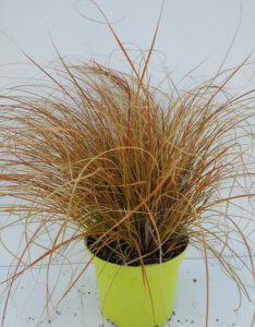 carex prairie fire2