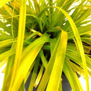 Carex 'Everillo'