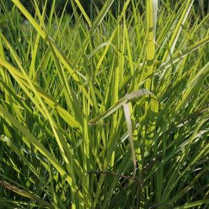 Miscanthus_sinensis_purpurascens