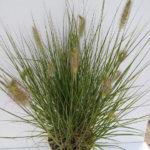 pennisetum hameln2