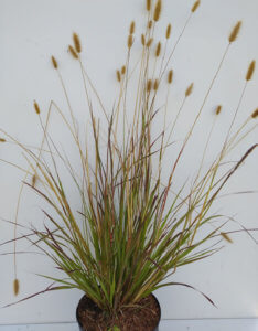 pennisetum massaicum 'Red Bunny Tail' 2