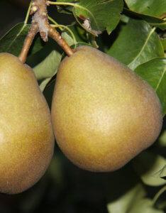 Beurré_Hardy_fruit