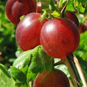 Ribes Hinnonmaki Röd