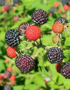 Rubus Black Jewel