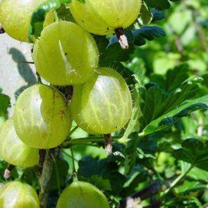 Ribes uva crispa