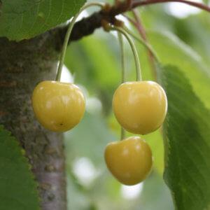 Grosse cerise blanche de Verchocq