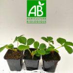 Fraiser Charlotte 3 plants