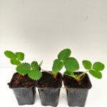 Fraisier Mariguette 3 plants