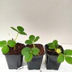 Fraisier Mara des Bois 3 plants